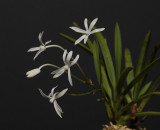 Neofinetia falcata 'Hoshiguruma'. A variety in wich the lip is a normal petal ( Therefore also lacking the spur)