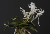 Neofinetia falcata 'Unkai' plant. Pinkish flowers flipped over.