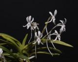 Neofinetia falcata 'Fugaku' Flowers close-up.