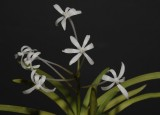 Neofinetia falcata 'Kinboshi' flowers.