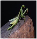 Praying Mantis (Stagmomantis carolina)