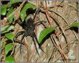 Fishing Spider (Dolomedes vittatus)