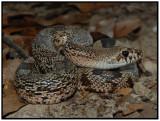 Florida Pine Snake (Pituophis melanoleucus mugitus)
