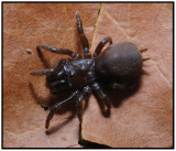 Purseweb Spider (Sphodros abboti) Female
