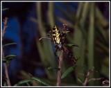 Yellow Garden Orbweaver (Argiope aurantia)