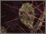 Cactus Bug (Chelinidea vittiger aequoris)