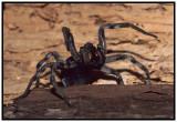 Carolina Wolf Spider (Lycosa carolinensis)