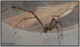 Longjawed Spider (Tetragnatha)