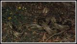 Apalachicola Kingsnake (Lampropeltis getula)