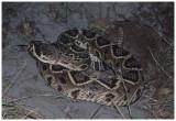Eastern Diamondback Rattle Snake (Crotalus adamanteus)