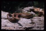 Red Rat Snake (Elaphe guttata guttata)