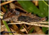 Green Clover Worm MothHypena scabra #8465