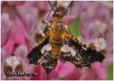 Spotted Thyris MothThyris maculata #6076