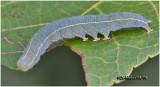 Red-lined Panopoda Moth Caterpillar Panopoda rufimargo #8587