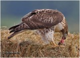 Red-tailed Hawk-Juvenile