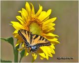 Sunflower/Eastern Tiger Swallowtail