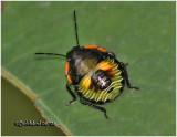 Green Stink Bug-Nymph