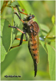 Red-footed Cannibalfly-Female