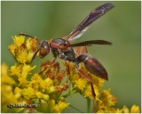 Northern Paper Wasp-Female