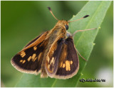 Pecks Skipper-Female