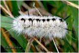 Hickory Tussock Moth Caterpillar Lophocampa caryae #8211