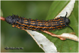 Orange-tipped Oakworm Moth CaterpillarAniseta senatoria #7719