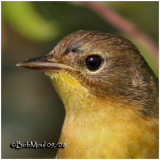 Common Yellowthroat-Female