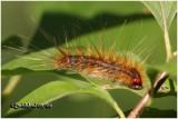 Fall Webworm Moth Caterpillar Hyphantria cunea #8140