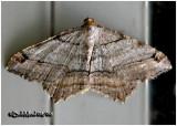 Many Lined Angle MothMacaria multilineata #6353