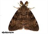 Gypsy Moth-MaleLymantria dispar #8318