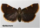Clover Hayworm MothHypsopygia costalis #5524
