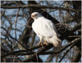Red-tailed Hawk-December 2008