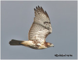 Red-tailed Hawk-Adult