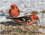 White-winged Crossbill-Males
