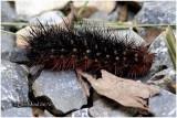 St. Lawrence Tiger Moth Caterpillar Platarctia parthenos #8162