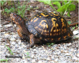 Eastern Box Turtle-Male
