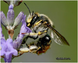 Wool Carder Bee-Male