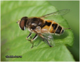 Syrphid Fly-Male