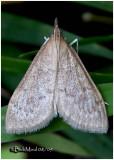 Dogbane Saucrobotys MothSaucrobotys futilalis #4936