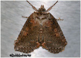 Tufted Thyatirin MothPseudothyatira cymatophoroides #6237
