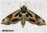 Pandorus Sphinx Moth Eumorpha pandorus #7859
