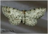Texas Gray MothGlenoides texanaria #6443