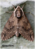 Catalpa Sphinx MothCeratomia catalpae #7789