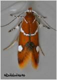 Suzuki's Promolactis MothPromalactis suzukiella #1047.1