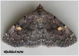 Common Idia MothIdia aemula #8323