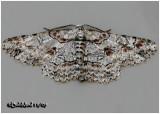 Brown-shaded Gray MothIridopsis defectaria #6586