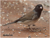 Dark-eyed Junco Male-Oregon Race