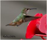 Allen's Hummingbird-Female