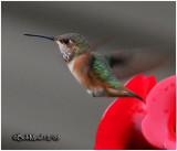Allen's Hummingbird-Female-PA STATE RECORD