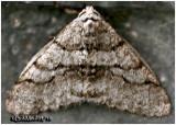 Half-wing Moth-Phigalia titea #6658